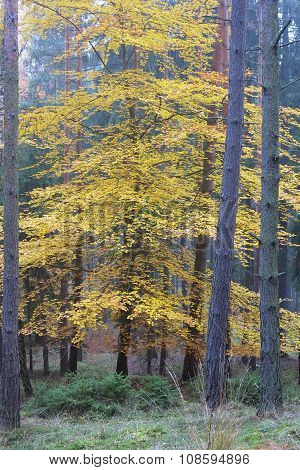 Deciduous Tree In The Spruce Forest In Autumn