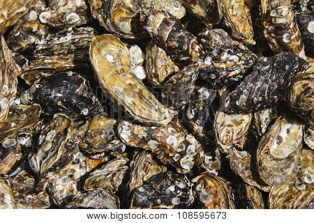 Oyster shell background / texture