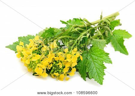 Sprig of fresh rapeseed.