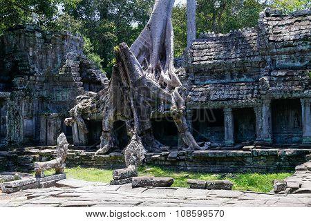 Banyan Trees Destroying Buildings Of Preah Khan  Temple