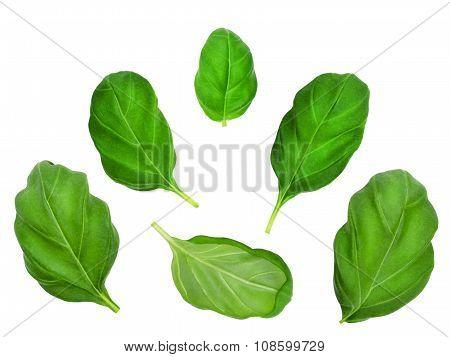 Set of basil leaves.