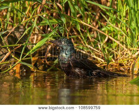 Bathing Common Grackle