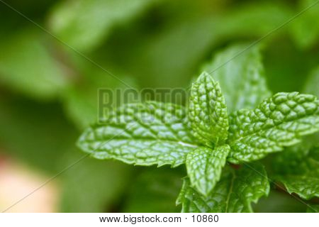 Lush Mint