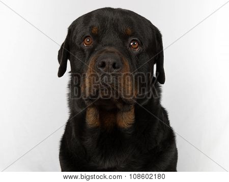 Rottweiler Dog Sitting Down And Isolated On White