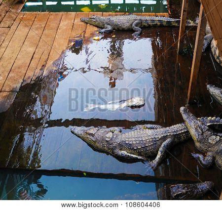 Crocodiles Farm In Cambodia