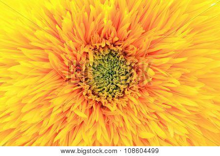 Chrysanthemum flower,closeup