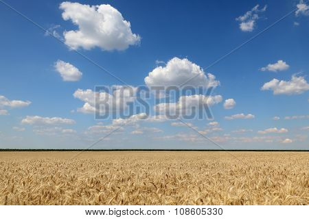 Wheat Field Before Harvest In Early Summer