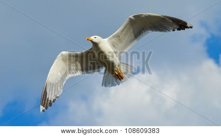 Seagull flying on blue sky and white clouds