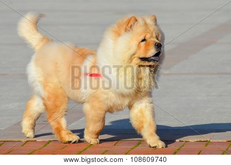 Chinese chow chow dog is walking
