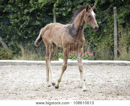 Holsteiner Foals Noble