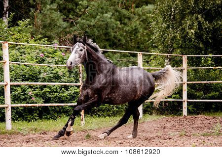 Happy Gray Horse Running In Paddock In Summer