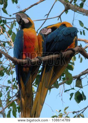 Two Caninde Macaw (Ara ararauna)