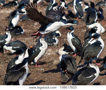 Imperial Cormorant in Flight
