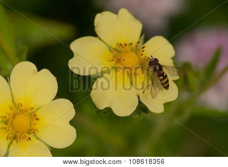 Flower Fly On Wildflower