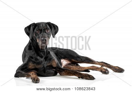 Relaxed Black Dog Lying On A White Background