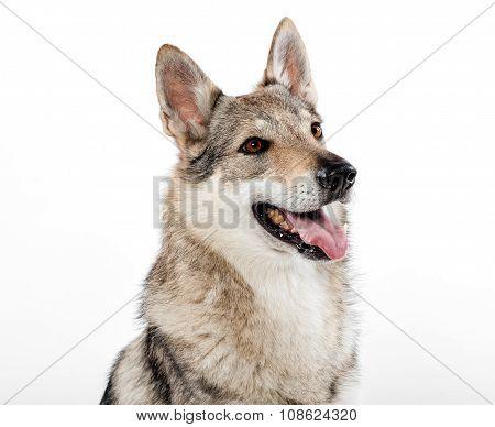 Head Portrait Of A Czechoslovakian Wolfdog