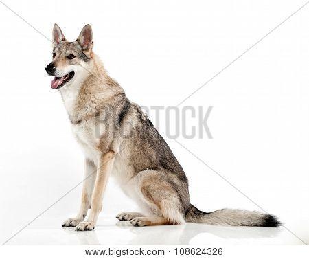Czechoslovakian Hybrid Wolf Dog