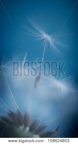 Dandelion Seed On Azure Background Blowing Away