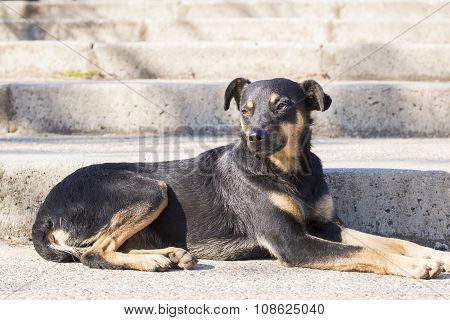 Black Mix Breed Dog Lying On The Staircase