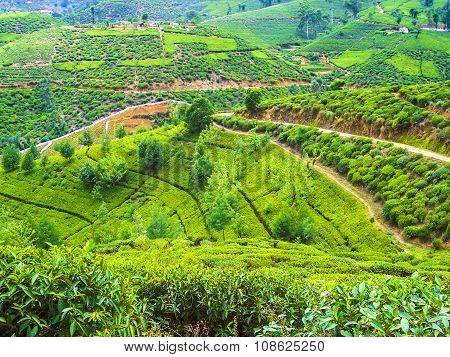 colorful green tea plantation in Sri Lanka