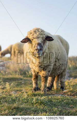 Happy Sheep Grazing In The Field Facing The Camera
