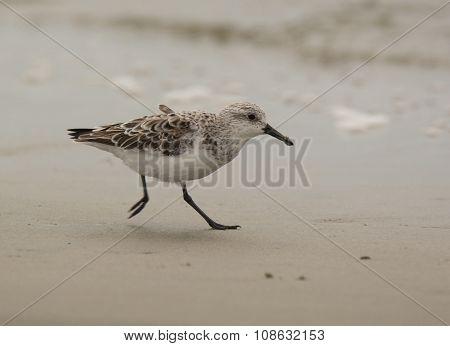 Hurried Sanderling