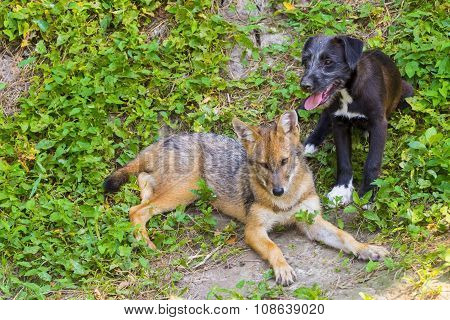 Young Golden Jackal (canis Aureus) And A Dog