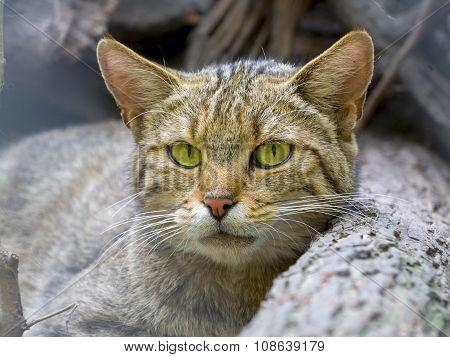 European Wild Cat (felis Silvestris Silvestris)