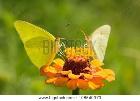 Male Cloudless Sulphur butterfly feeding on orange zinnia, with a female on background sharing the same flower