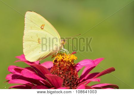Bright yellow female Cloudless Sulphur butterfly feeding on a deep pink Zinnia with summer green background