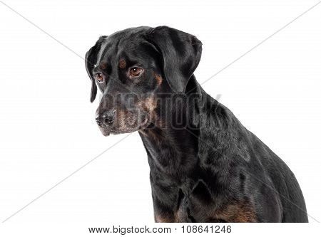 Thoughtful Little Black Dog