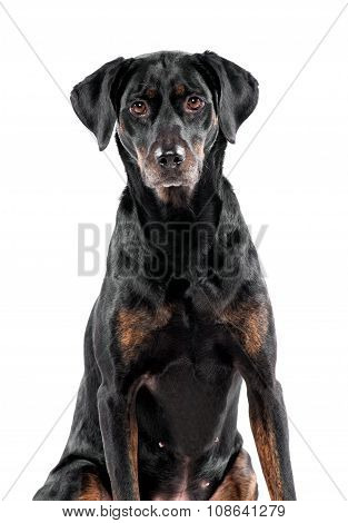 Cute Black Dog Staring At The Camera