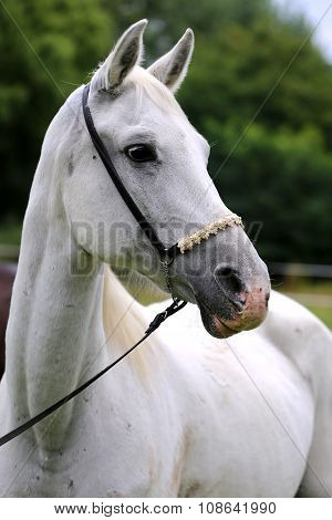 Head Shot Of A Beautiful Purebred Grey Arabian Mare