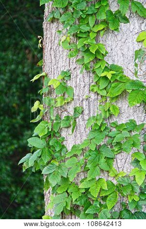 Ivy growing up a tree outside