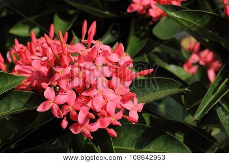 Red Ixora Flowers Is Beautiful Of Asia.