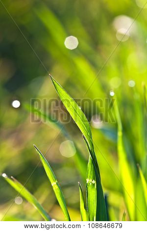 Beautiful Green Grass In Detail With Dew