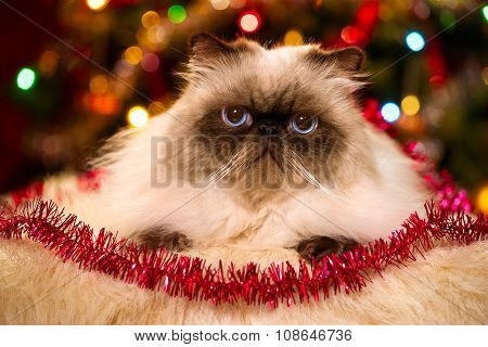 Cute Persian Cat Lying In Front Of A Christmas Tree With Bokeh