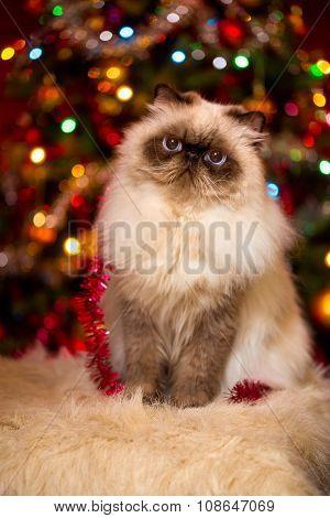 Cute Persian Cat Sitting In Front Of A Christmas Tree With Bokeh