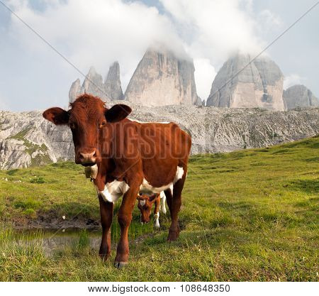 View Of Cow And Mount Tre Cime Or Drei Zinnen