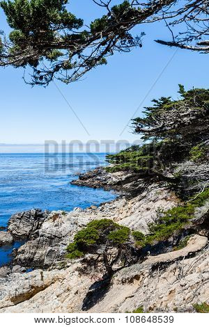 Lone Cypress Between Sunset Point And Midway Point