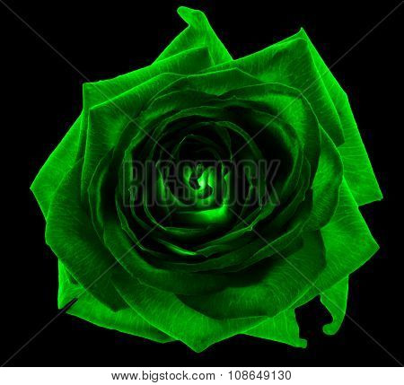 Acid Green Rose Flower Macro Isolated On Black