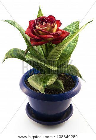 Red Rose Flower Hybrid In A Blue Flowerpot Isolated On White