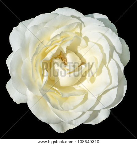 White And Yellow Tender Rose Flower Macro Isolated On Black