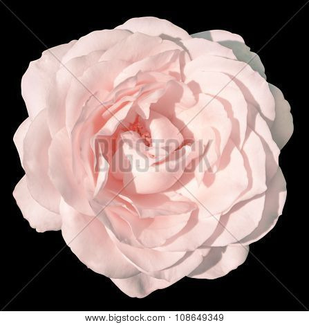 Pink Tender Rose Flower Macro Isolated On Black