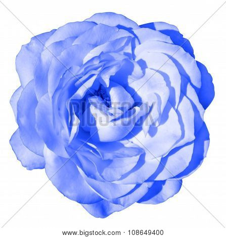 Blue Tender Rose Flower Macro Isolated On White