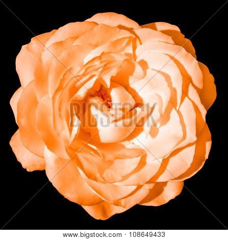 Orange Tender Rose Flower Macro Isolated On Black