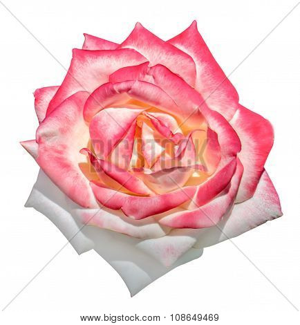 White And Pink Tender Rose Flower Macro Isolated On White