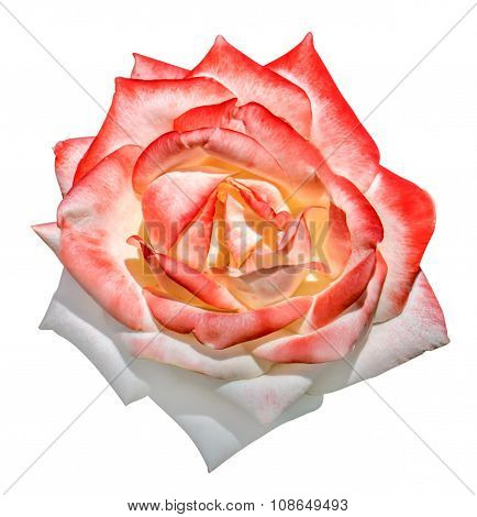 White And Red Tender Rose Flower Macro Isolated On White