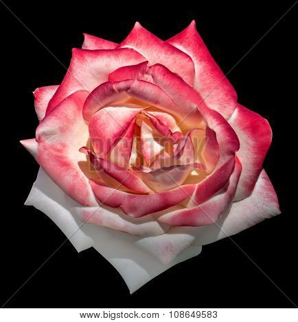 White And Pink Tender Rose Flower Macro Isolated On Black