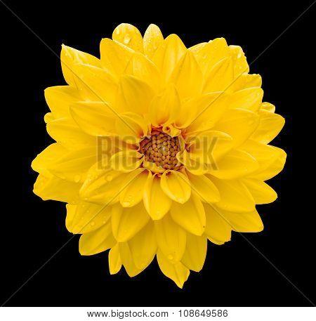 Yellow Flower Dahlia Macro Isolated On Black